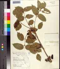 Bursera simaruba herbarium specimen from Malabar Cape, Brevard County in 1964 by R W Long.