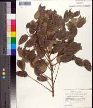 Bursera simaruba herbarium specimen from Saint Lucie River, Martin County in 1973 by Robert Kral.