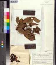 Bursera simaruba herbarium specimen from Matheson Hammock County Park, Miami-Dade County in 1950 by Elbert L. Little.