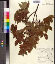 Bursera simaruba herbarium specimen from Ten Thousand Islands, Collier County in 1967 by Olga Lakela.
