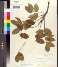 Bursera simaruba herbarium specimen from Key Largo, Monroe County in 1959 by Robert K Godfrey.