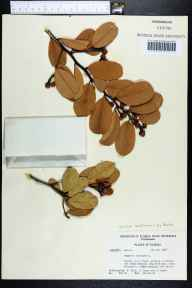 Capparis flexuosa herbarium specimen from Big Pine Key, Monroe County in 1968 by K. Blum.