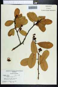 Capparis flexuosa herbarium specimen from Big Pine Key, Monroe County in 1968 by J. Lazor.