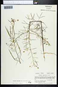 Polanisia tenuifolia herbarium specimen from Sweetwater Creek, Liberty County in 1981 by Prof. Loran C Anderson.
