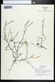 Polanisia tenuifolia herbarium specimen from U.S. Route 27, Highlands County in 1979 by Daniel B Ward.