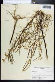 Polanisia tenuifolia herbarium specimen from Haines City, Polk County in 1955 by Robert K Godfrey.