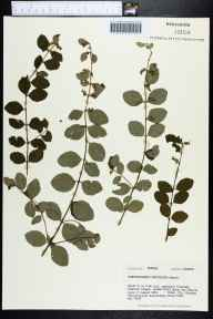 Symphoricarpos orbiculatus herbarium specimen from Chipola River, Jackson County in 1981 by Robert K Godfrey.