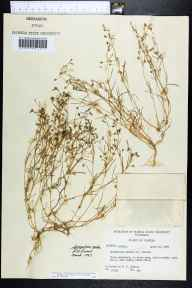 Spergularia marina herbarium specimen from Shell Point, Wakulla County in 1959 by Robert K Godfrey.