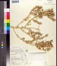 Atriplex pentandra herbarium specimen from Cape Romano, Collier County in 1967 by Olga Lakela.