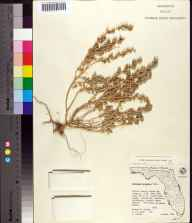 Atriplex pentandra herbarium specimen from North Key Largo, Monroe County in 1962 by Olga Lakela.