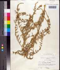 Atriplex pentandra herbarium specimen from Crescent Beach, St. Johns County in 1971 by Robert K Godfrey.