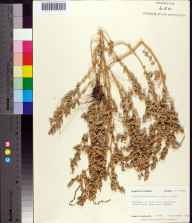 Atriplex pentandra herbarium specimen from Anastasia State Park, St. Johns County in 1983 by Robert K Godfrey.