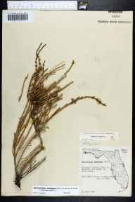 Sarcocornia ambigua herbarium specimen from Bayport, Hernando County in 1958 by Mabel Kral.