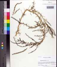Suaeda linearis herbarium specimen from Saint Marks National Wildlife Refuge, Wakulla County in 2006 by Prof. Loran C Anderson.