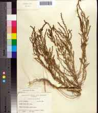 Suaeda linearis herbarium specimen from Amelia Island, Nassau County in 1961 by Robert K Godfrey.