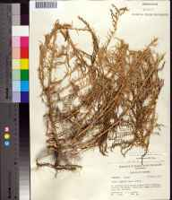 Suaeda linearis herbarium specimen from Ozello, Citrus County in 1971 by Robert K Godfrey.