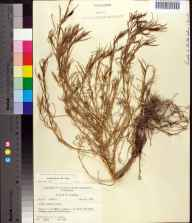 Suaeda linearis herbarium specimen from Saint Marks National Wildlife Refuge, Wakulla County in 1959 by Robert K Godfrey.
