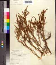 Suaeda linearis herbarium specimen from Jug Island, Taylor County in 1957 by Robert K Godfrey.