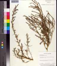 Suaeda linearis herbarium specimen from Historic Spanish Point, Sarasota County in 1997 by Baskerville.