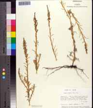Suaeda linearis herbarium specimen from Little Saint George Island, Franklin County in 1986 by Prof. Loran C Anderson.