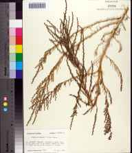 Suaeda linearis herbarium specimen from Tahiti Beach, Franklin County in 1985 by Prof. Loran C Anderson.