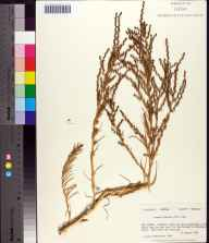 Suaeda linearis herbarium specimen from Dog Island, Franklin County in 1982 by Prof. Loran C Anderson.