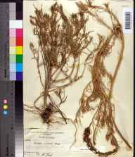 Suaeda linearis herbarium specimen from Alligator Harbor, Franklin County in 1956 by Robert Kral.