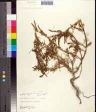 Suaeda linearis herbarium specimen from Cudjoe Key, Monroe County in 1972 by Robert K Godfrey.
