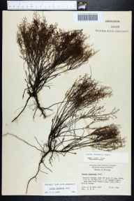 Lechea deckertii herbarium specimen from Juniper Creek, Marion County in 1964 by Daniel B Ward.