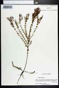 Lechea minor herbarium specimen from Saint Marks Nat'l Wildlife Refuge (Panacea Unit), Wakulla County in 2006 by Prof. Loran C Anderson.