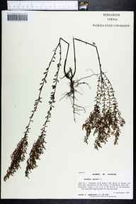 Lechea minor herbarium specimen from Tallahassee, Leon County in 1998 by Prof. Loran C Anderson.