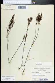Lechea minor herbarium specimen from SaintMarks, Wakulla County in 1961 by Robert K Godfrey.