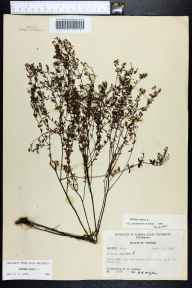 Lechea minor herbarium specimen from Chaires, Leon County in 1955 by Robert K Godfrey.