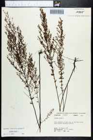 Lechea minor herbarium specimen from Big Pine Field, Leon County in 1974 by Robert K Godfrey.