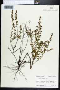 Lechea mucronata herbarium specimen from Shell Hammock, Franklin County in 1985 by Prof. Loran C Anderson.