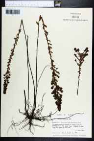 Lechea mucronata herbarium specimen from Apalachee Wildlife Management Area, Jackson County in 1983 by Gary R Knight.