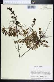 Lechea mucronata herbarium specimen from Cape St. George Island, Franklin County in 1986 by Prof. Loran C Anderson.