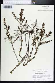 Lechea mucronata herbarium specimen from Ralph E. Simmons State Forest, Nassau County in 1999 by Prof. Loran C Anderson.