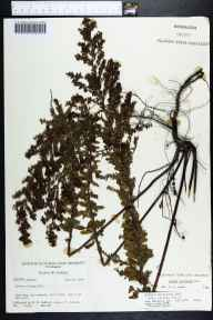 Lechea mucronata herbarium specimen from Shit Creek, Walton County in 1964 by Robert K Godfrey.