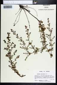 Lechea mucronata herbarium specimen from Fred Gannon Rocky Bayou State Recreation Area, Okaloosa County in 1994 by Prof. Loran C Anderson.