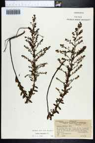 Lechea villosa herbarium specimen from Santa Rosa Island, Santa Rosa County in 1941 by James B McFarlin.