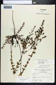Lechea mucronata herbarium specimen from Wakulla, Wakulla County in 1960 by Robert K Godfrey.
