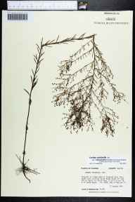 Lechea pulchella var. ramosissima herbarium specimen from Eglin Air Force Base, Walton County in 1992 by Prof. Loran C Anderson.