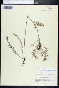 Lechea pulchella var. ramosissima herbarium specimen from Cape St. George Island, Franklin County in 1985 by Prof. Loran C Anderson.