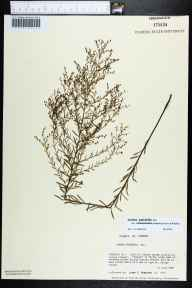 Lechea pulchella var. ramosissima herbarium specimen from Cape St. George Island, Franklin County in 1986 by Prof. Loran C Anderson.