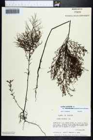 Lechea pulchella var. ramosissima herbarium specimen from Dr Julian G Bruce Saint George Island State Park, Franklin County in 1986 by Prof. Loran C Anderson.