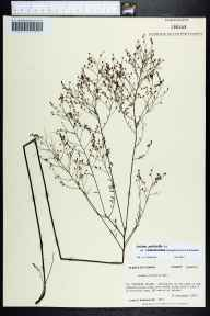 Lechea pulchella herbarium specimen from Saint Vincent Island, Franklin County in 1983 by Prof. Loran C Anderson.