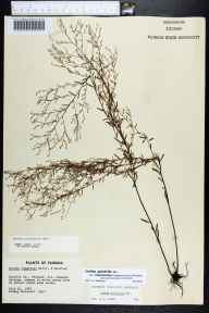 Lechea pulchella var. ramosissima herbarium specimen from Panacea, Wakulla County in 1967 by Sidney McDaniel.