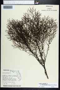 Lechea pulchella herbarium specimen from Columbia County in 1984 by George Robinson.