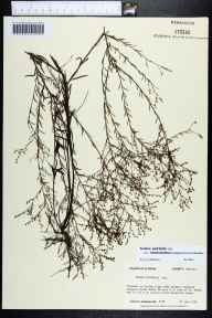 Lechea pulchella var. ramosissima herbarium specimen from SaintMarks, Wakulla County in 1985 by Prof. Loran C Anderson.